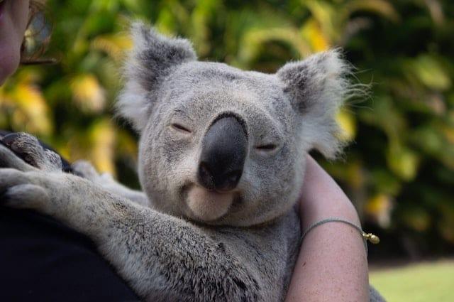 Koala at the zoo