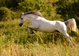 White horse jumping