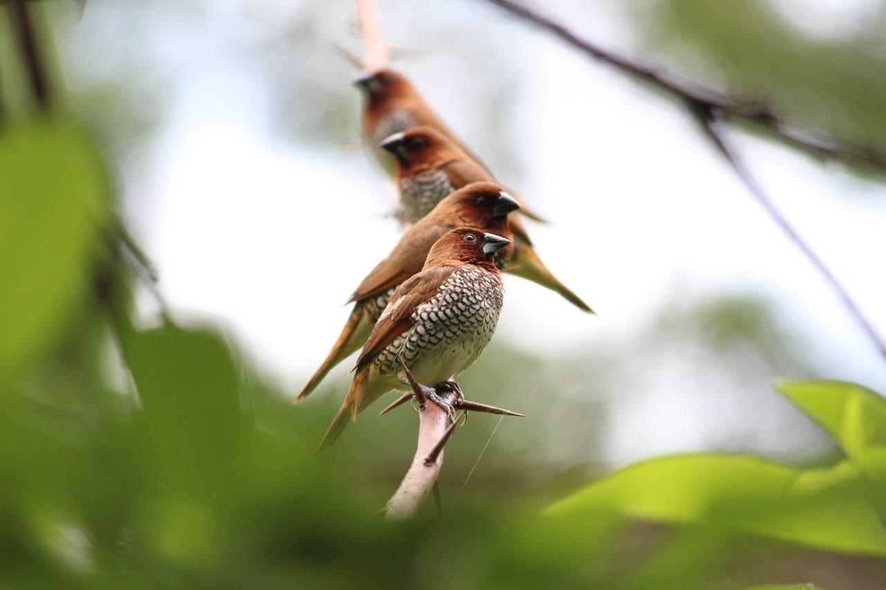 Certificate of Ornithology (Bird Studies)