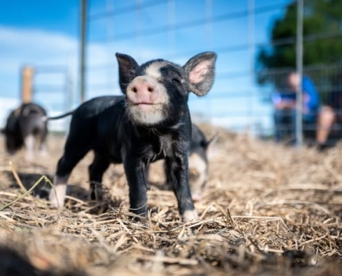 pig husbandry course